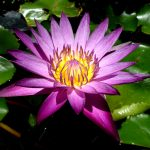 lotusblomma-blog1